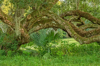 Oak limbs and palmetto palm on Avery Island.