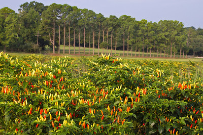 This pepper field on Avery Island has pine trees in the background, planted to serve as a windbreak and to hold the soil.