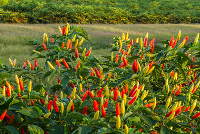 Capsicum frutescens, the peppers used to make TABASCO brand pepper sauce.