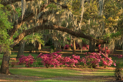 Late afternoon sun lighting Azaleas growing under a Spanish Moss-draped Southern Live Oak in Avery Island's Jungle Gardens.