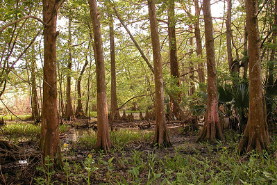 The cypress swamp pictured here borders Avery Island. Over 2 million cypress seedlings have been planted over the last 40 years as part of Avery Island's Cypress Swamp Restoration Project, with about 20,000 seedlings planted annually in recent years.