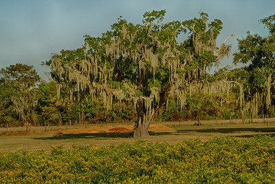 Southern Live Oak with ground pepper mash in the background, and the TABASCO pepper field in the foreground.