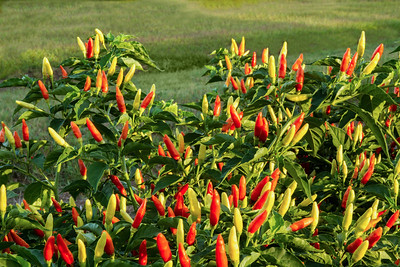 Capsicum frutescens--the peppers used to make TABASCO Brand Pepper Sauce.