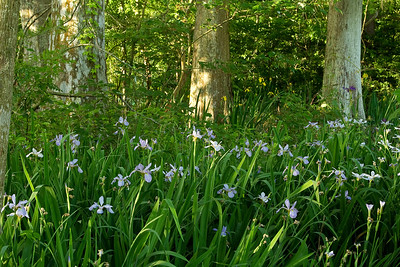 Blue Iris stand on a spring morning in Avery Island's Jungle Gardens.