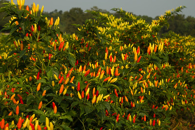 The proper name for these peppers is Capsicum frutescens, and they are used to make TABASCO Brand Pepper Sauce.  Please visit www.TABASCO.com for more information on these colorful, spicy peppers.