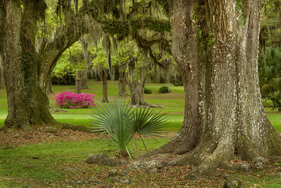 Azaleas, Southern Live Oaks, and Palms are familiar sights on Avery Island.