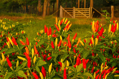 Capsicum frutescens, the peppers TABASCO Sauce is made from, growing on Avery Island.