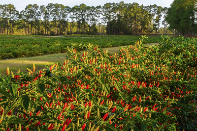 Another view of the Avery Island pepper fields.