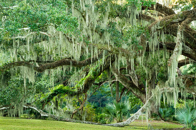 Southern Live Oak branches, covered with Resurrection Fern and draped with Spanish Moss, grow to the ground.  In the past, Spanish Moss was picked and used for mattress stuffing.