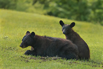 Louisiana Black Bear mother and cub on Avery Island.