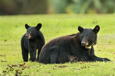 Louisiana Black Bear sow with one of her two cubs on Avery Island.