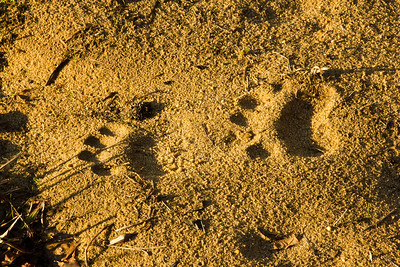 Louisiana Black Bear Tracks.
