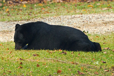 Louisiana Black Bear eating acorns under a Southern Live Oak tree.