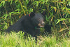 First siting of Louisiana Sow and at least 2 cubs on March 31, 2016.