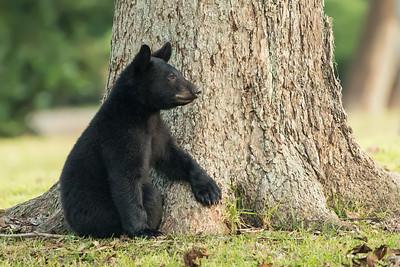 Louisiana Black Bear cub under a pecan tree on Avery Island.