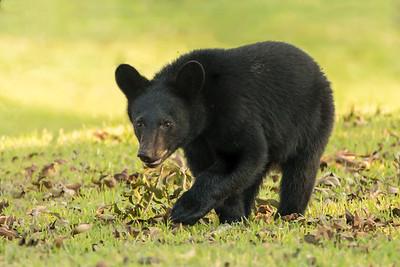 Louisiana Black Bears cub wakling in a pecan grove on Avery Island.