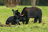 Louisiana Black Bear sow with her two cubs snacking at a pecan grove on Avery Island.