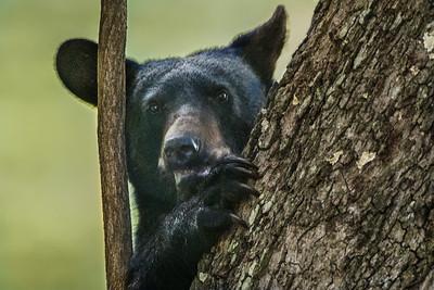 Louisiana Black Bear yearling on Avery Island.