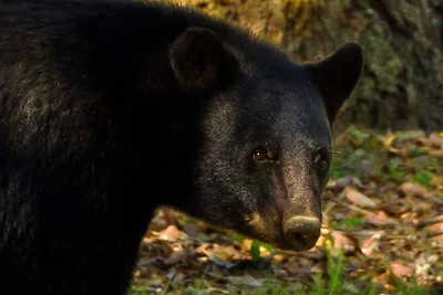 Although there are only an estimated 500 to 700 Louisiana Black Bears alive today, their population is increasing.  Farmers are now converting marginal bottom lands along the Mississippi River back to hardwood forests, partly because federal and state governments have offered incentives.  It is also illegal now to hunt or kill these bears.    Since adult male Louisiana Black Bears can roam over 20,000 to 80,000 acres each year, and since we have seen them so rarely, we felt fortunate that this bear stopped long enough to pose for our super telephoto lens—from a very safe distance.    (Source:  Black Bear Conservation Coalition, and U.S. Fish and Wildlife Service)