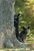 Louisiana Black Bears cubs peering out from behind a pecan tree on Avery Island.