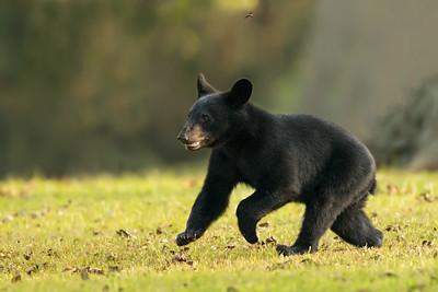 Louisiana Black Bear cub racing a dragonfly on Avery sland.