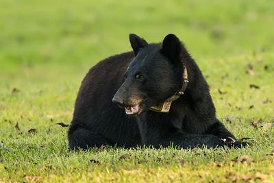Louisiana Black Bear sow on Avery Island.