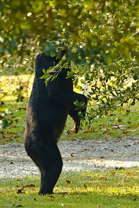 """Acorns higher, still? This is one """"can do"""" bear."""