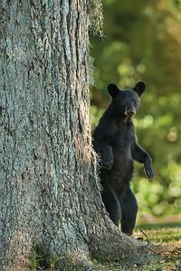 Louisiana Black Bear cub standing up under a pecan tree on Avery Island.