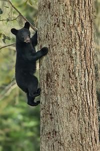 Louisiana Black Bear cub climbing a pecan tree on Avery Island.