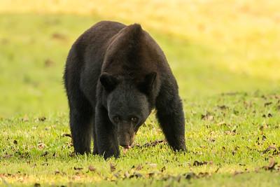 Louisiana Black Bear trying not to let that pecan get away.