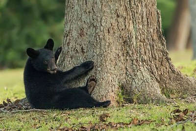 Louisiana Black Bear cub--our Avery Island tree-hugger.