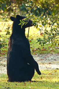 This Louisiana Black Bear thought there were more acorns still in the branches, and showed his adaptability in getting to them.