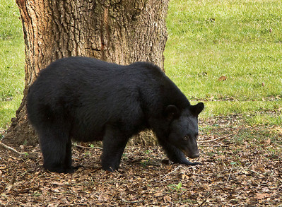 "Although Louisiana Black Bears eat mainly acorns and berries, they will eat garbage and whatever else they can find. It is illegal to feed bears in Louisiana, for their protection as well as ours. If they lose their natural fear of people, and learn to expect food from us, they can become dangerous, and may have to be killed. The old saying, ""a fed bear is a dead bear,"" holds very true."
