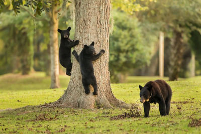 Louisiana Black Bear sow and cubs in a pecan grove on Avery Island.