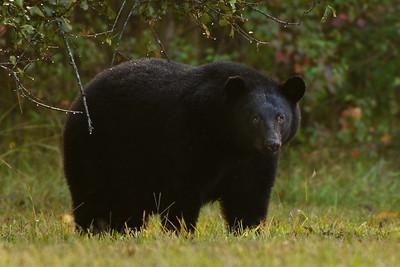 Louisiana Black Bear on Avery Island