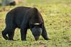 Louisiana Black Bears sow.