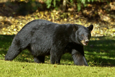 This Louisiana Black Bear was spotted leaving the Live Oak Trees for the seclusion of a nearby large forested gully.