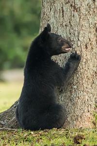 Louisiana Black Bear cub getting ready to climb a pecan tree on Avery Island.