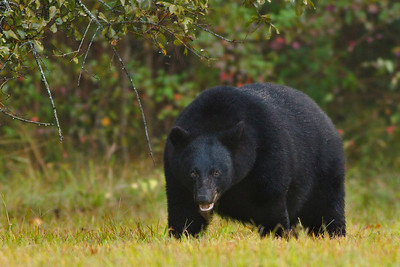 Louisiana Black Bears eat voraciously during the fall to prepare for the denning season.  This is the same bear shown in the first 5 photos in this gallery, and you can see how much weight it gained over the course of about a month.