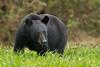 Louisiana Black Bear on Avery Island.