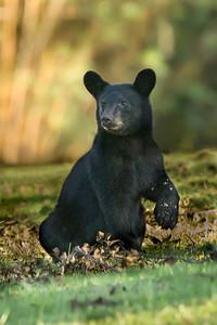 Louisiana Black Bear cub in a pecan grove on Avery Island.