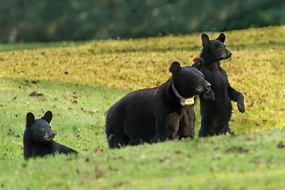 Louisiana Black Bear sow with two cubs.