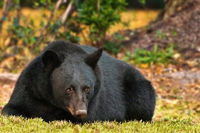 Louisiana Black Bear resting after a big meal of acorns.