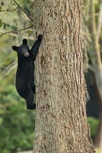 Louisiana Black Bear cub climbing down a pecan tree on Avery Island.