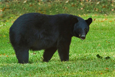 "Louisiana Black Bears became classified as ""threatened"" under the Endangered Species Act in 1992, after their population declined markedly due to unregulated hunting and the loss of their habitat.  Their hardwood forest habitat was decimated when farmers cleared land for agriculture."