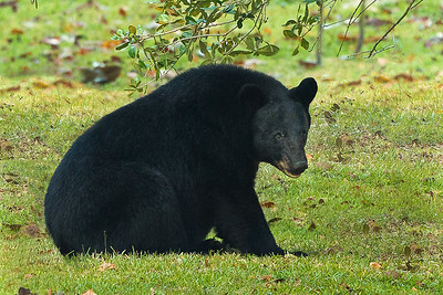 Louisiana Black Bear on Avery Island.