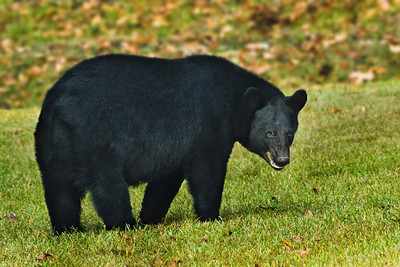 "On November 12, 2011 The Louisiana Department of Wildlife and Fisheries (LDWF) alerted hunters that they should take safety precautions when hunting because of the increased Black Bear population, as well as specific Bear sightings on the southern edge of the Atchafalaya Basin. Another reason hunters should be alert is that during the fall the Bears are quite active, because they are focused on eating to gain weight to prepare for the denning season. They may defend an important food source like the Southern Live Oak tree pictured here, which produces acorns that are a major part of their diet.  LDWF advises hunters not to use corn as a bait for deer, as it will also attract Louisiana Black Bears. Hunters should also carry bear spray. LDWF further advises, ""If you are approached by a Bear while hunting: Stand your ground, raise your arms to appear larger, speak in a normal voice and make the bear aware of your presence. Back away slowly when possible. If the bear continues to approach, stand your ground. Prepare to use your bear spray . . . Never run from a bear, as this may trigger the bear's chase instinct. If attacked by a bear, defend yourself with any available weapon.""  Please note that all of our photos of Louisiana Black Bears have been taken with a super telephoto lens from a very safe distance."