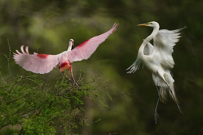 Move over!  A Great Egret chases a Roseate Spoonbill off the high perch.