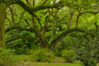Resurrection Fern dressing up the limbs of beautiful Southern  Live Oaks in Jungle Gardens after a spring rain.