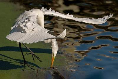 Great Egret retrieving a stick for nest bulding at Bird City in Jungle Gardens.